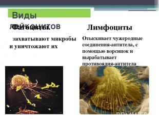 Виды лейкоцитов Фагоциты. захватывают микробы и уничтожают их Лимфоциты Отыскива