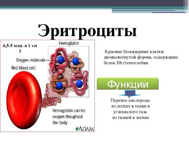 Эритроциты Красные безъядерные клетки двояковогнутой формы, содержащие белок Hb (гемоглобин Перенос кислорода из легких в ткани и углекислого газа из тканей в легкие 4,5-5 млн. в 1 см 3 Функции