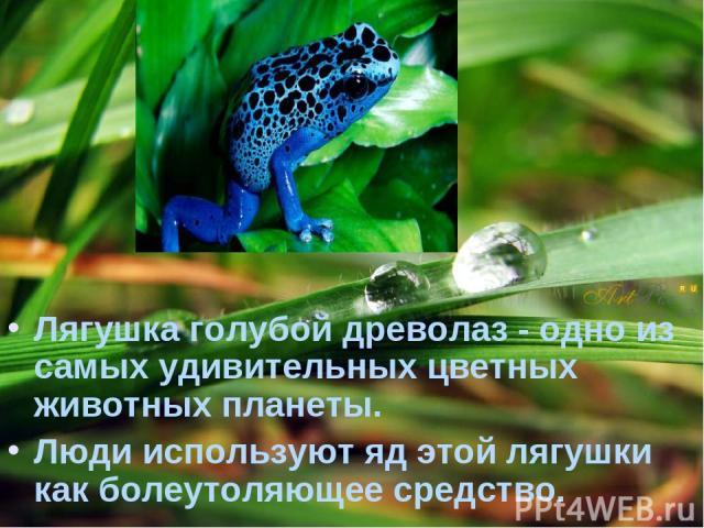 Лягушка голубой древолаз - одно из самых удивительных цветных животных планеты. Люди используют яд этой лягушки как болеутоляющее средство.