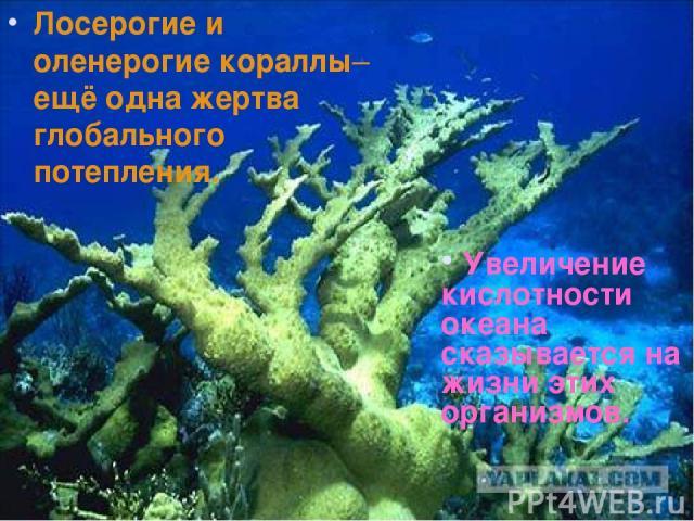 Лосерогие и оленерогие кораллы– ещё одна жертва глобального потепления. Увеличение кислотности океана сказывается на жизни этих организмов.