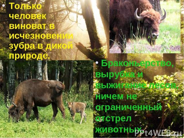 Только человек виноват в исчезновении зубра в дикой природе. Браконьерство, вырубка и выжигание лесов, ничем не ограниченный отстрел животных.