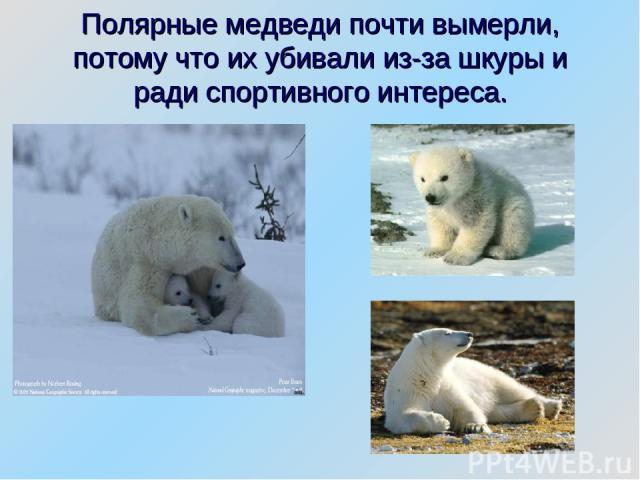 Полярные медведи почти вымерли, потому что их убивали из-за шкуры и ради спортивного интереса.
