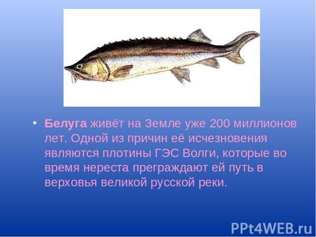 Белуга живёт на Земле уже 200 миллионов лет. Одной из причин её исчезновения являются плотины ГЭС Волги, которые во время нереста преграждают ей путь в верховья великой русской реки.