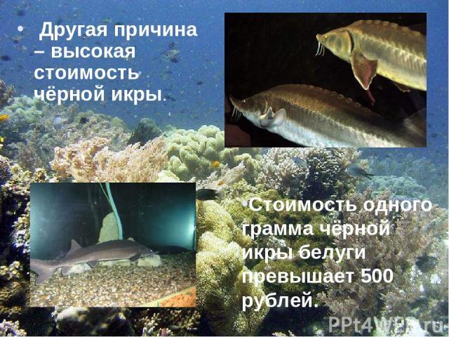 Другая причина – высокая стоимость чёрной икры. Стоимость одного грамма чёрной икры белуги превышает 500 рублей.