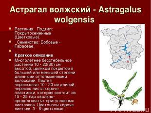 Астрагал волжский - Astragalus wolgensis Растения.Подтип: Покрытосеменные (Цве