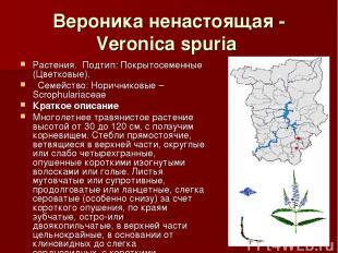 Вероника ненастоящая - Veronica spuria Растения.Подтип: Покрытосеменные (Цветк
