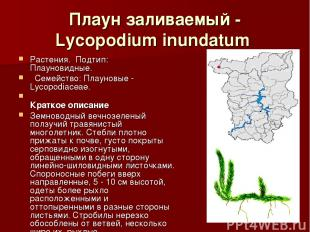 Плаун заливаемый - Lycopodium inundatum Растения.Подтип: Плауновидные. Семе