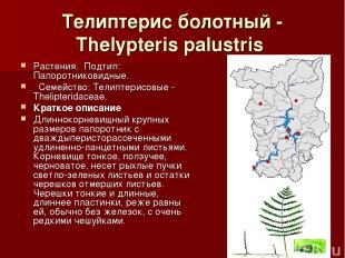 Телиптерис болотный - Thelypteris palustris Растения.Подтип: Папоротниковидные