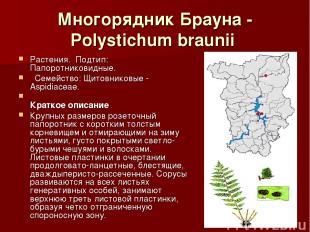 Многорядник Брауна - Polystichum braunii Растения.Подтип: Папоротниковидные.