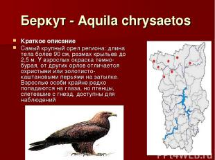 Беркут - Aquila chrysaetos Краткое описание Самый крупный орел региона: длина те