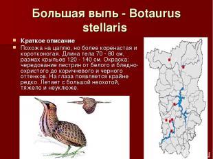 Большая выпь - Botaurus stellaris Краткое описание Похожа на цаплю, но более кор
