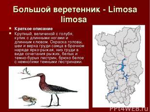 Большой веретенник - Limosa limosa Краткое описание Крупный, величиной с голубя,
