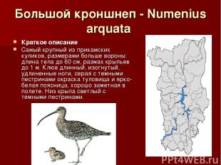 Большой кроншнеп - Numenius arquata Краткое описание Самый крупный из прикамских