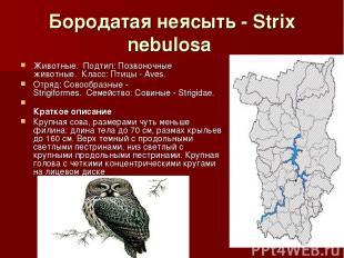 Бородатая неясыть - Strix nebulosa Животные.Подтип: Позвоночные животные.Кла