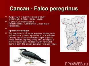Сапсан - Falco peregrinus Животные.Подтип: Позвоночные животные.Класс: Птицы