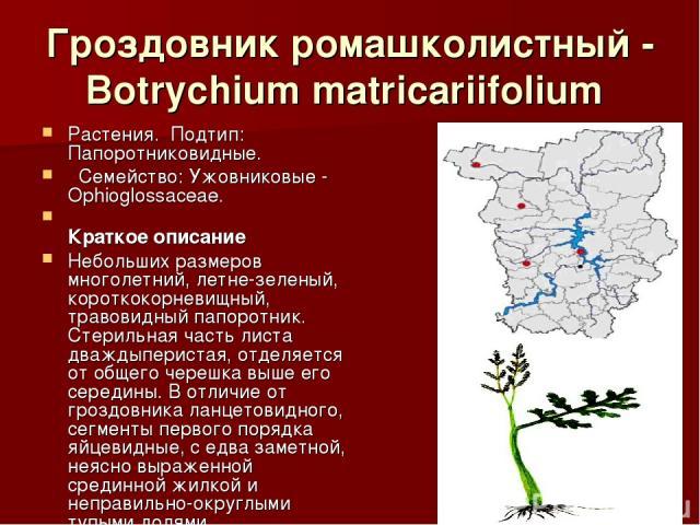 Гроздовник ромашколистный - Botrychium matricariifolium Растения.Подтип: Папоротниковидные. Семейство: Ужовниковые - Ophioglossaceae. Краткое описание Небольших размеров многолетний, летне-зеленый, короткокорневищный, травовидный папоротник. Ст…