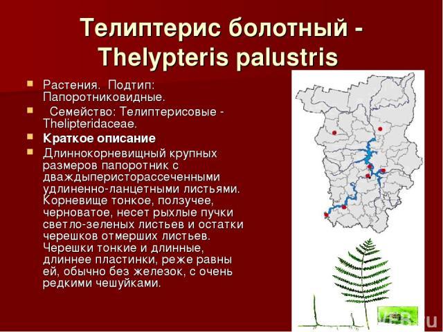Телиптерис болотный - Thelypteris palustris Растения.Подтип: Папоротниковидные. Семейство: Телиптерисовые - Thelipteridaceae. Краткое описание Длиннокорневищный крупных размеров папоротник с дваждыперисторассеченными удлиненно-ланцетными листья…