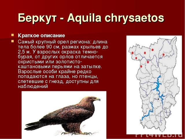Беркут - Aquila chrysaetos Краткое описание Самый крупный орел региона: длина тела более 90 см, размах крыльев до 2,5 м. У взрослых окраска темно-бурая, от других орлов отличается охристыми или золотисто-каштановыми перьями на затылке. Взрослые особ…
