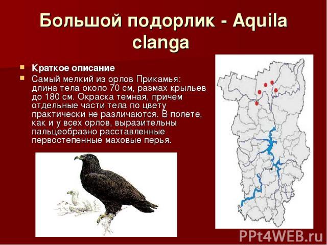 Большой подорлик - Aquila clanga Краткое описание Самый мелкий из орлов Прикамья: длина тела около 70 см, размах крыльев до 180 см. Окраска темная, причем отдельные части тела по цвету практически не различаются. В полете, как и у всех орлов, вырази…