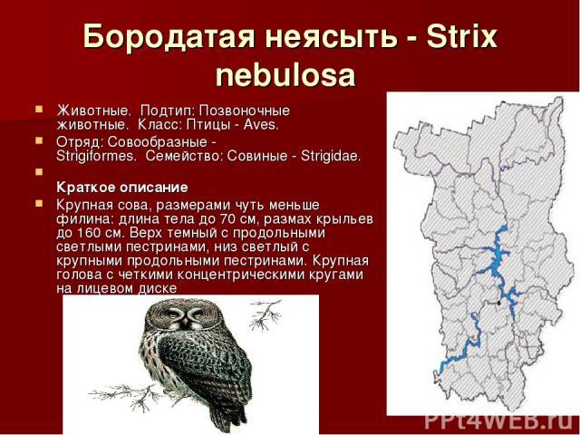 Бородатая неясыть - Strix nebulosa Животные.Подтип: Позвоночные животные.Класс: Птицы - Aves. Отряд: Совообразные - Strigiformes.Семейство: Совиные - Strigidae. Краткое описание Крупная сова, размерами чуть меньше филина: длина тела до 70 см, …