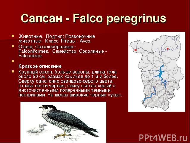Сапсан - Falco peregrinus Животные.Подтип: Позвоночные животные.Класс: Птицы - Aves. Отряд: Соколообразные - Falconiformes.Семейство: Соколиные - Falconidae. Краткое описание Крупный сокол, больше вороны: длина тела около 50 см, размах крыльев…