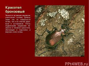 Красотел бронзовый Является активным хищником, уничтожает гусениц. Добычу ловит