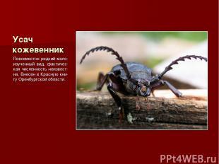 Усач кожевенник Повсеместно редкий мало-изученный вид, фактичес-кая численность