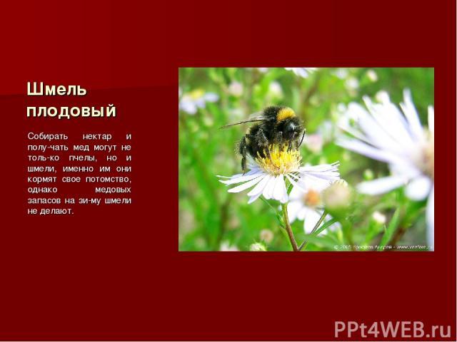 Шмель плодовый Собирать нектар и полу-чать мед могут не толь-ко пчелы, но и шмели, именно им они кормят свое потомство, однако медовых запасов на зи-му шмели не делают.