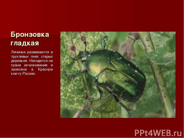Бронзовка гладкая Личинки развиваются в трухлявых пнях старых деревьев. Находится на грани исчезновения и занесена в Красную кни-гу России.