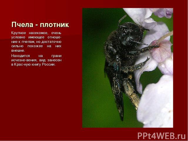 Пчела - плотник Крупное насекомое, очень условно имеющее отноше-ние к пчелам, но достаточно сильно похожее на них внешне. Находится на грани исчезно-вения, вид занесен в Крас-ную книгу России.