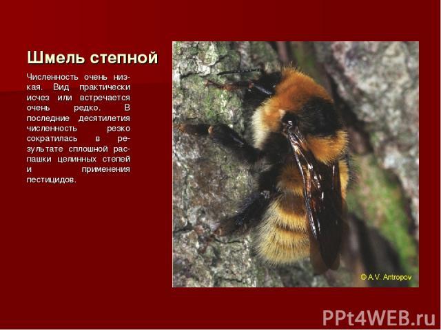 Шмель степной Численность очень низ-кая. Вид практически исчез или встречается очень редко. В последние десятилетия численность резко сократилась в ре-зультате сплошной рас-пашки целинных степей и применения пестицидов.