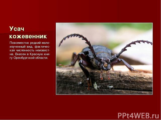Усач кожевенник Повсеместно редкий мало-изученный вид, фактичес-кая численность неизвест-на. Внесен в Красную кни-гу Оренбургской области.