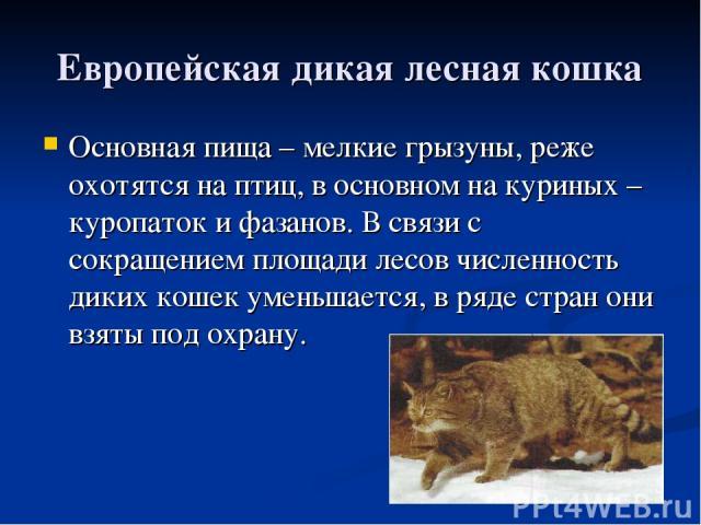 Европейская дикая лесная кошка Основная пища – мелкие грызуны, реже охотятся на птиц, в основном на куриных – куропаток и фазанов. В связи с сокращением площади лесов численность диких кошек уменьшается, в ряде стран они взяты под охрану.