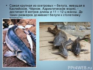 Самая крупная из осетровых – белуга, живущая в Каспийском, Чёрном, Адриатическом