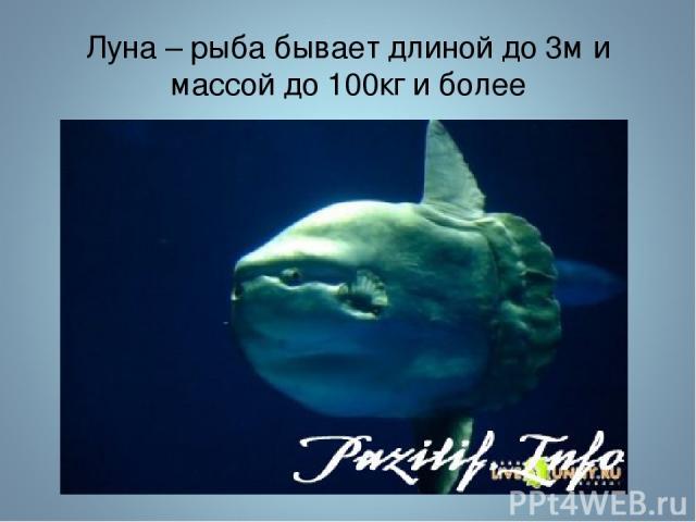 Луна – рыба бывает длиной до 3м и массой до 100кг и более