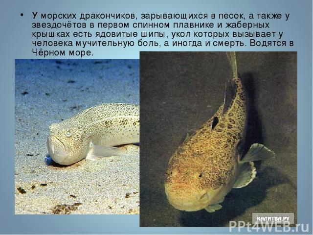 У морских дракончиков, зарывающихся в песок, а также у звездочётов в первом спинном плавнике и жаберных крышках есть ядовитые шипы, укол которых вызывает у человека мучительную боль, а иногда и смерть. Водятся в Чёрном море.
