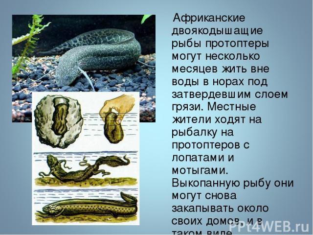 Африканские двоякодышащие рыбы протоптеры могут несколько месяцев жить вне воды в норах под затвердевшим слоем грязи. Местные жители ходят на рыбалку на протоптеров с лопатами и мотыгами. Выкопанную рыбу они могут снова закапывать около своих домов,…