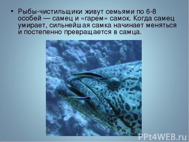 Рыбы-чистильщики живут семьями по 6-8 особей — самец и «гарем» самок. Когда самец умирает, сильнейшая самка начинает меняться и постепенно превращается в самца.