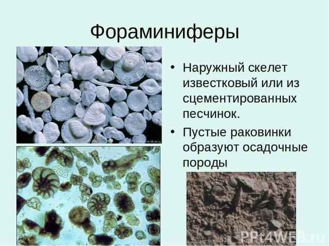 Фораминиферы Наружный скелет известковый или из сцементированных песчинок. Пустые раковинки образуют осадочные породы