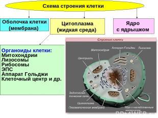 Схема строения клетки Ядро с ядрышком Цитоплазма (жидкая среда) Оболочка клетки