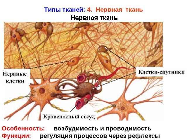 Типы тканей: 4. Нервная ткань Особенность: возбудимость и проводимость Функции: регуляция процессов через рефлексы