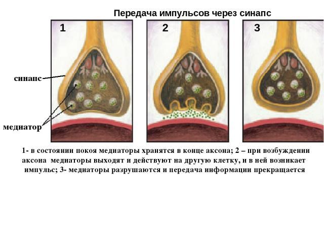 3 1 2 медиатор Передача импульсов через синапс 1- в состоянии покоя медиаторы хранятся в конце аксона; 2 – при возбуждении аксона медиаторы выходят и действуют на другую клетку, и в ней возникает импульс; 3- медиаторы разрушаются и передача информац…