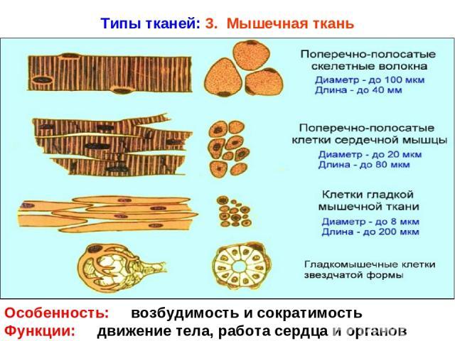 Типы тканей: 3. Мышечная ткань Особенность: возбудимость и сократимость Функции: движение тела, работа сердца и органов