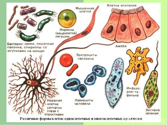 Сегодня используют такие методы изучения клеток: - рентгеноструктурный анализ - гистохимия - дифференциальное центрифугирование