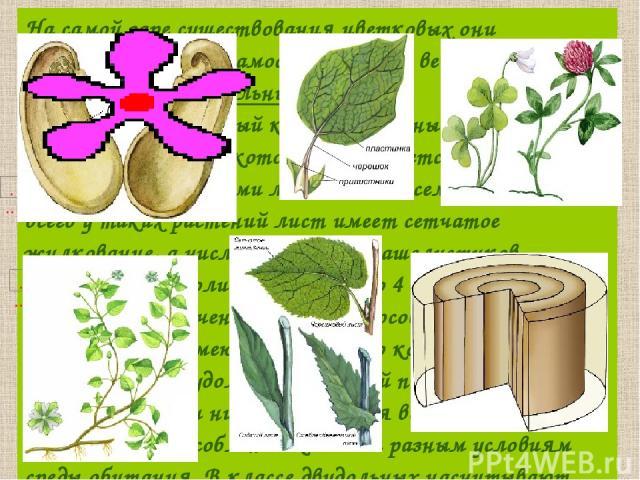 На самой заре существования цветковых они разделились на две самостоятельные ветви— классы двудольных иоднодольных. Более многочисленный класс двудольные объединяет растения, всемени которых развивается зародыш сдвумя зародышевыми листьями— сем…