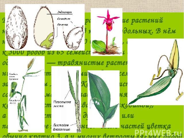 В классе однодольных разнообразие растений несколько меньше, чемвклассе двудольных. Внём насчитывается около 60000 видов, относящихся к3000 родов из 65 семейств. Почти все однодольные— травянистые растения. Всемени у них развивается зародыш с…