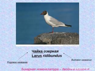 Чайка озерная Larus ridibundus Родовое название Видовое название Бинарная номенк