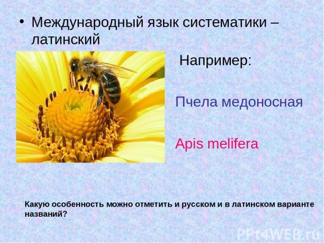 Международный язык систематики – латинский Например: Пчела медоносная Apis melifera Какую особенность можно отметить и русском и в латинском варианте названий?