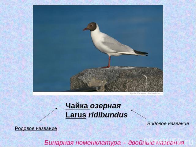 Чайка озерная Larus ridibundus Родовое название Видовое название Бинарная номенклатура – двойные названия