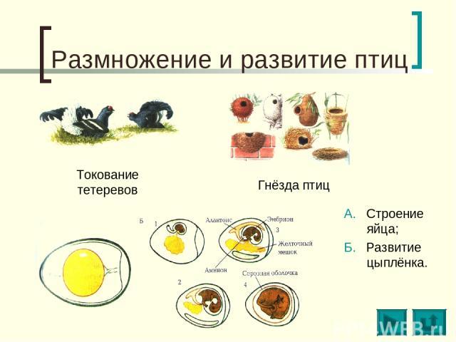 Размножение и развитие птиц Токование тетеревов Гнёзда птиц А. Строение яйца; Б. Развитие цыплёнка.